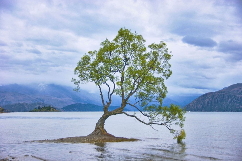 Wanaka Tree; New Zealand Itinerary